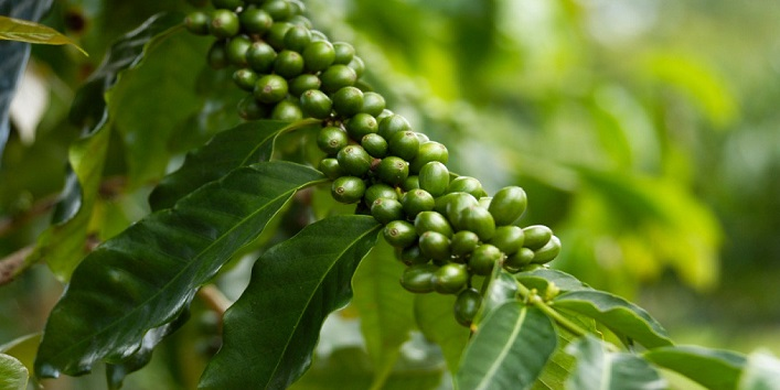Extracts Of Green Coffee