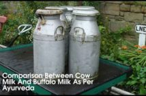 Comparison Between Cow Milk And Buffalo Milk As Per Ayurveda